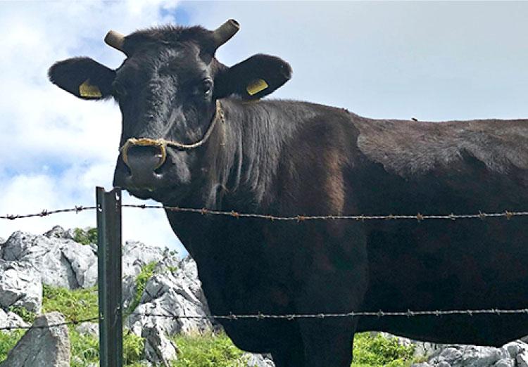 放牧中の牛たち